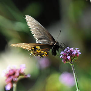 LC Butterflies VI by LDFranklin