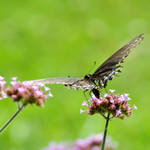 LC Butterflies X by LDFranklin