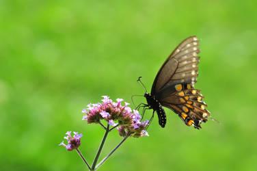 LC Butterflies XI by LDFranklin