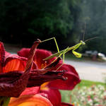 Mantis II by LDFranklin