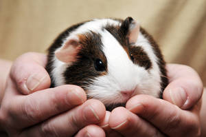CPR Guinea Pigs XX by LDFranklin