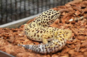 CPR Leopard Gecko I by LDFranklin