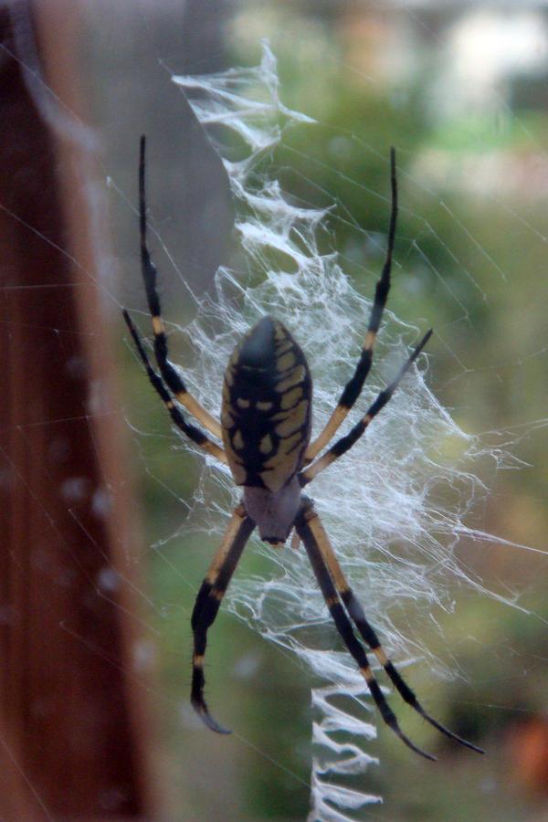 Black And Yellow Garden Spider By Ldfranklin On Deviantart