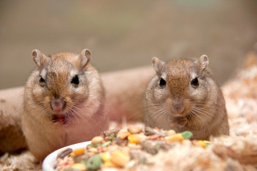 Gerbils I by LDFranklin
