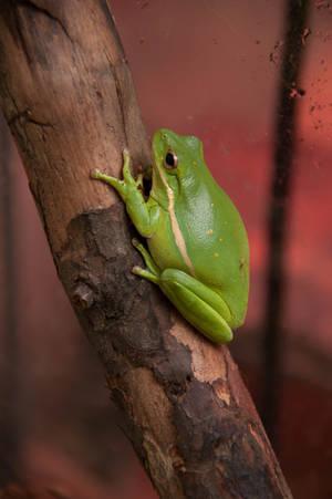Tree Frog II by LDFranklin