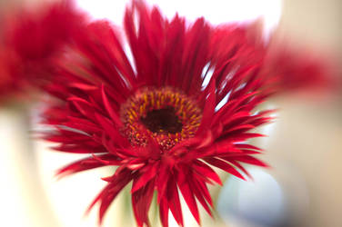 Red Daisies IX by LDFranklin