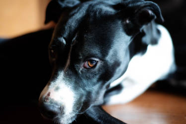 Bruno Dog IV