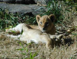NCZ Lion Family 9 by LDFranklin