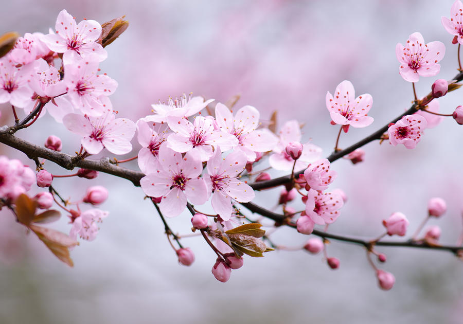Sakura Spring by stg123