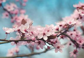 Sakura Spring IV by stg123