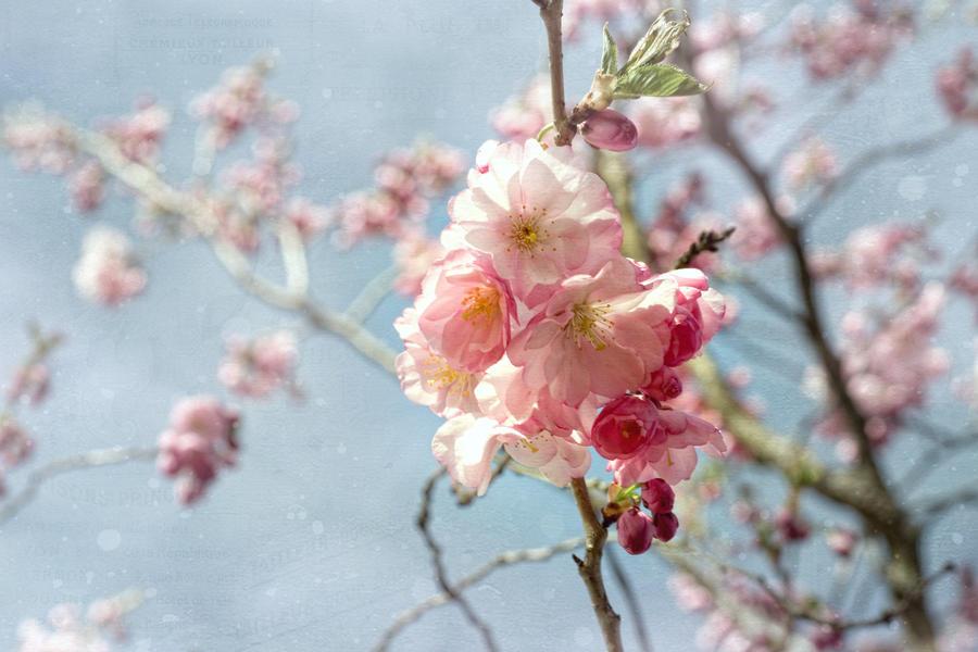 Cherrie Spring III by stg123