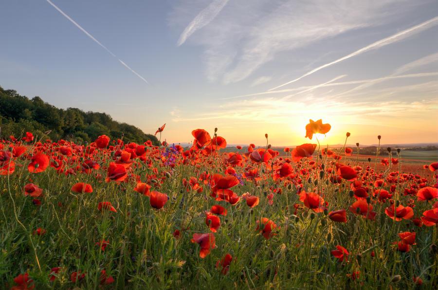 Poppys Sun by stg123