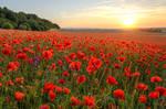 Poppys at Sunset