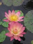lotus 2 by altonova