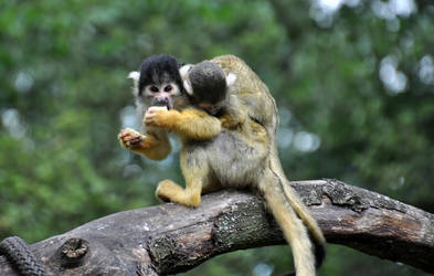 Squirrel monkeys I by Saihai