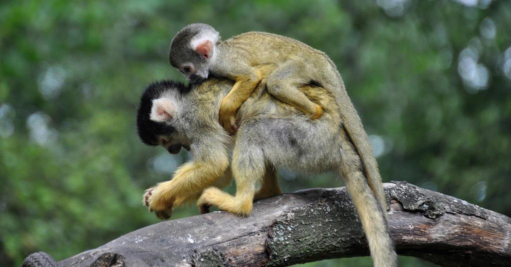 Squirrel monkeys II by Saihai
