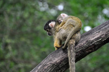 Squirrel monkeys IV by Saihai