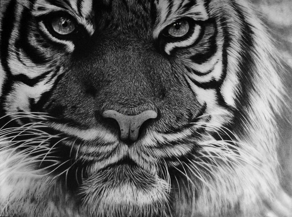 Tiger - Pencil Drawing by Names76