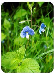 Fleur Bleue by FohFuR