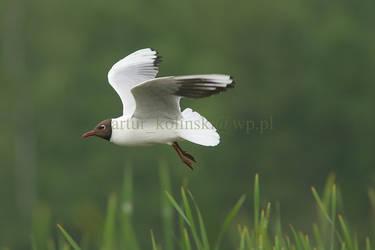 Flying Black-headed Gull by arturkolinski