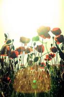 Poppies. by JaymeeLS