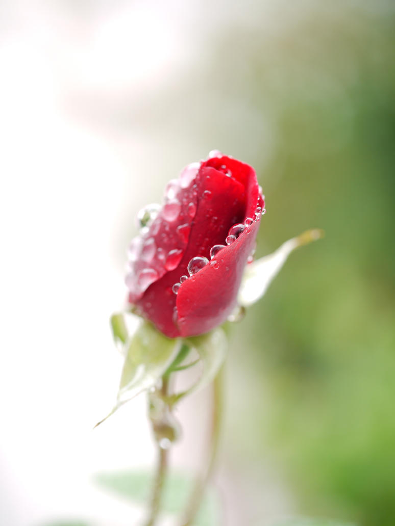 small red rose bud. by asaluiphotography on deviantart, Beautiful flower