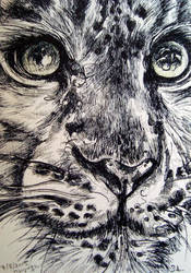 the grey Snow Leopard