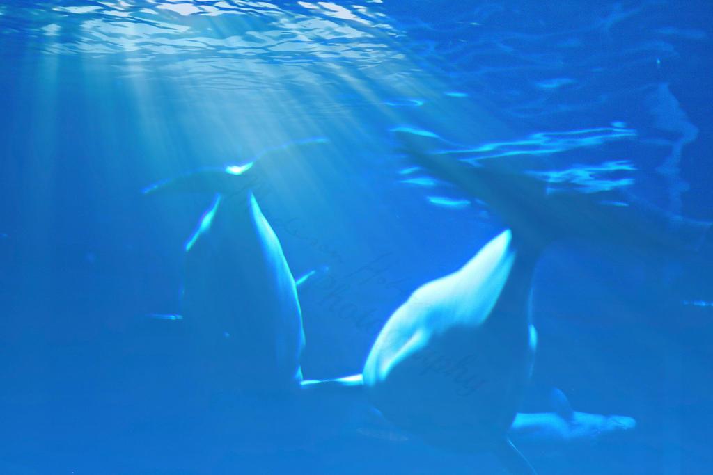 Blue Belugas by Jade-Author