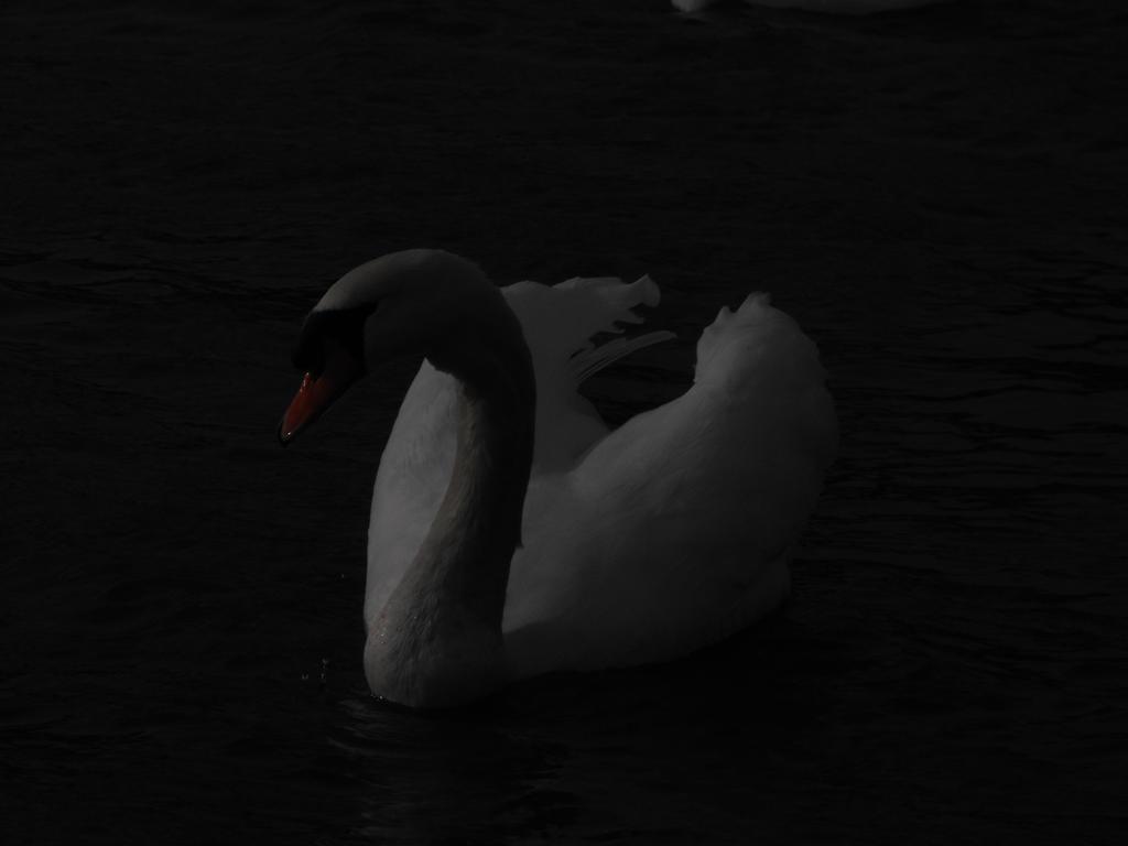Swan on moonlight by A1Z2E3R