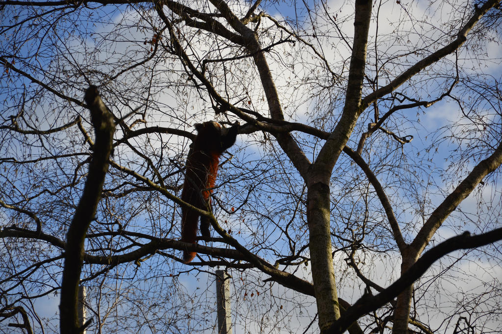 Red panda climbing by A1Z2E3R