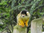Macaque ape
