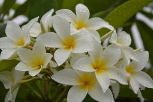 Flowers of Martinique in the rain 3 by A1Z2E3R