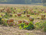 French field of pumpkins