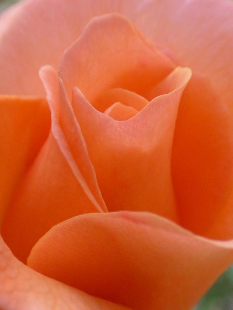 Heart of rose for Judina birthday by A1Z2E3R