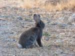 Wild rabbit 8