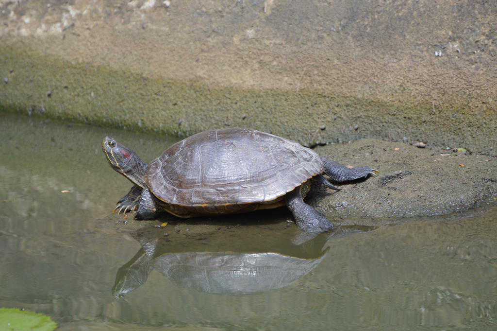 Water turtle with its reflexion in water by A1Z2E3R