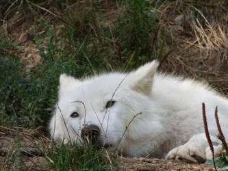 Portrait of white wolf in the grass