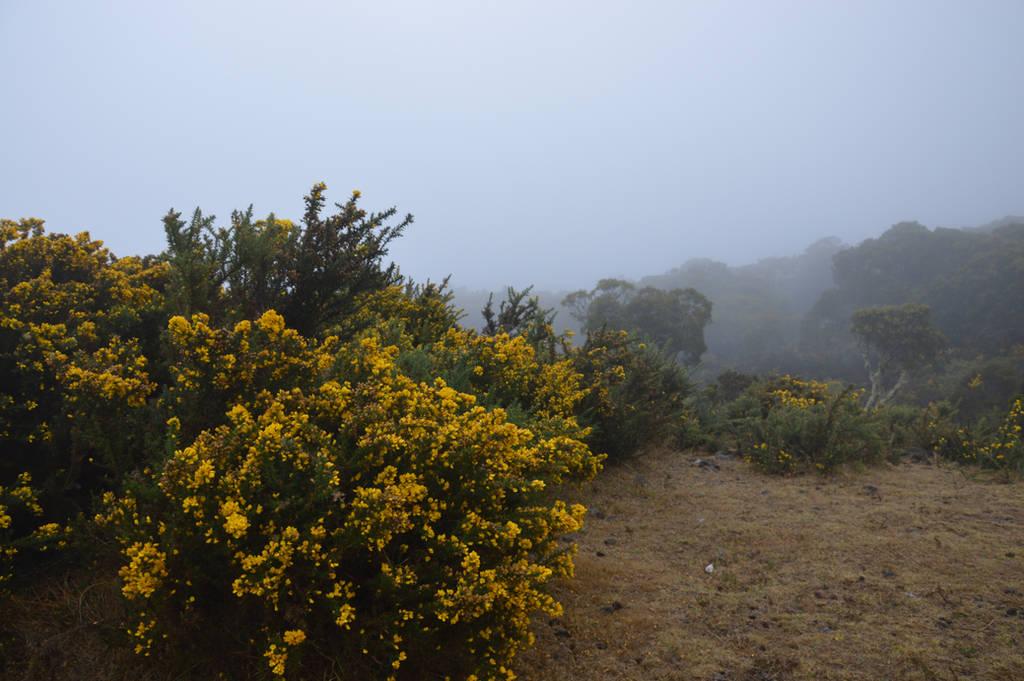 Flowery brooms in foggy Forest of Maido Peak by A1Z2E3R