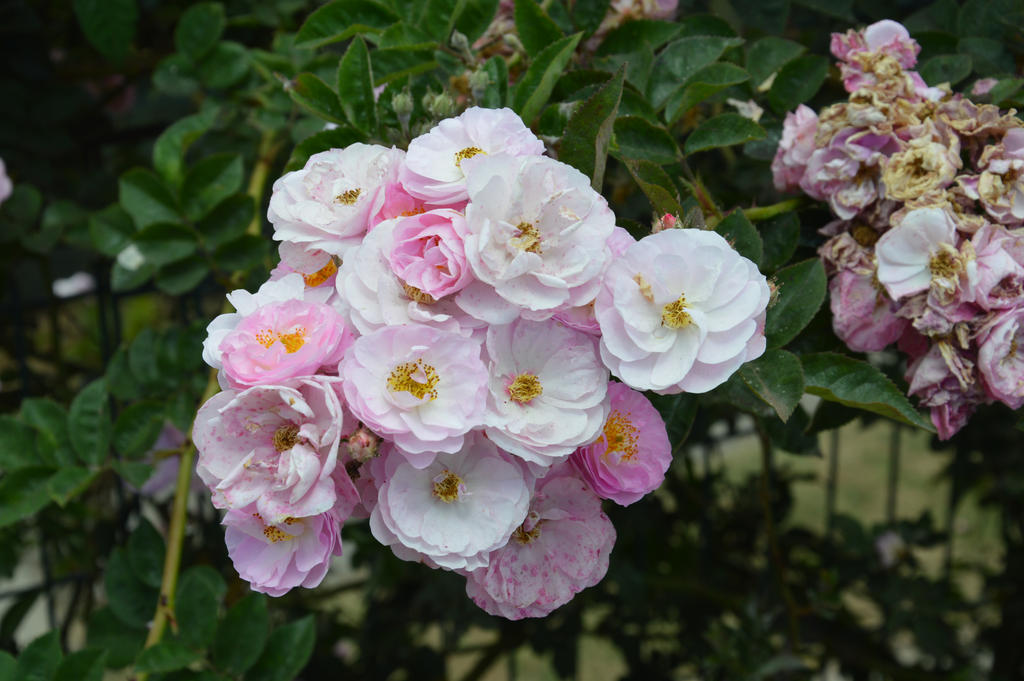 Dog roses of Reunion Island by A1Z2E3R