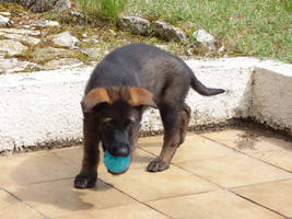 Dark german shepherd babe playing with blue ball by A1Z2E3R