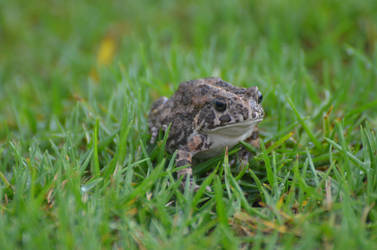 Frog living to Reunion Island in the grass by A1Z2E3R