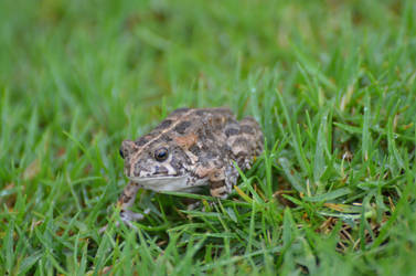 Frog living to Reunion Island in the grass 2 by A1Z2E3R