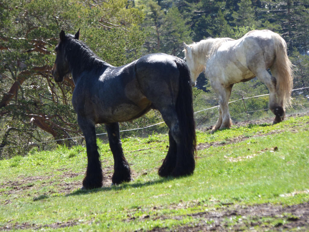 Black and white labour horses french boulonnais