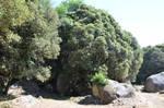 Oaks in the forest of Cucuruzzu by A1Z2E3R