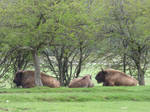 European bisons or buffalos reintroduced in France