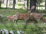 Herd of male and female deers 2