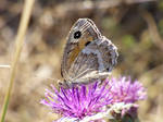 Butterfly with brown wings of Provence