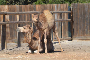 Kid Dromedary standing up and its mom 4