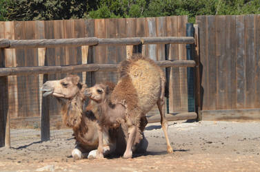 Kid Dromedary standing up and its mom 3