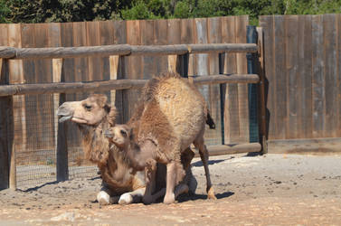 Kid Dromedary standing up and its mom 2